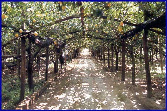 Citrontræer - Amalfi-kysten